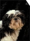 Shih Tzu with Hair Cut Short Prints by Adriano Bacchella