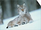 European Lynx in Snow, Norway Art by Pete Cairns