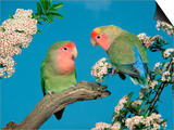 Pair of Peach-Faced Lovebirds Posters by Petra Wegner