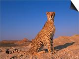 Cheetah, Tsaobis Leopard Park, Namibia Prints by Tony Heald