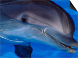 Close-Up of a Dolphin, Loro Parque, Puerto De La Cruz, Tenerife, Canary Islands, Spain Prints by Marco Simoni