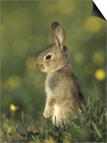 Rabbit, Youngster Standing Upright, UK Posters by Mark Hamblin
