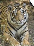 Bengal Tiger, Portrait of Male Tiger, Madhya Pradesh, India Reprodukcje autor Elliot Neep