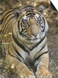 Bengal Tiger, Portrait of Male Tiger, Madhya Pradesh, India Prints by Elliot Neep