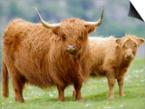 Highland Cow and Calf, Strathspey, Scotland, UK Posters by Pete Cairns