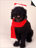 Poodle Wearing Scarf and Santa Hat Posters by Jeff Dunn