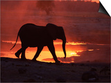 African Elephant, at Sunset Chobe National Park, Botswana Art by Tony Heald