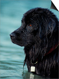 Black Newfoundland Standing in Water Art by Adriano Bacchella