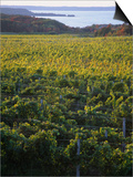 Vineyards Near Traverse City, Michigan, USA Posters by Michael Snell