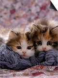 Domestic Cat Kittens, 8-Weeks, Tortoiseshell-And-White Sisters, (Persian-Cross') Posters by Jane Burton