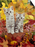 Domestic Cat, 8-Week, Silver Tabby Kittens Among Heather and Autumnal Leaves Prints by Jane Burton