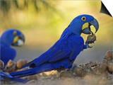 Hyacinth Macaws, Parrots Eating Brazil Nuts, Brazil Stampe di Roy Toft