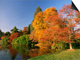 Acer Trees in Autumn, Sheffield Park, Sussex, England, United Kingdom Posters by Michael Busselle
