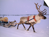 Reindeer, Pulling Sledge, Saami Easter, Norway Prints by Staffan Widstrand