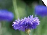 Centaurea Cyanus (Blue Cornflower), Close-up Poster by Ruth Brown