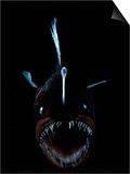 Deep Sea Anglerfish, Female with Lure Projecting from Head to Attract Prey, Atlantic Ocean Prints by David Shale