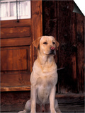 Yellow Labrador Retriever Sitting in Front of a Door Poster by Adriano Bacchella