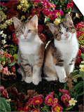 Tabby-Tortoiseshell-And White Kittens, 11-Week Sisters, Among Pink and Yellow Primroses Prints by Jane Burton