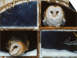 Barn Owls Looking out of a Barn Window Germany Posters by Dietmar Nill