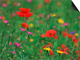 Wild Flowers, Including Poppy and Corncockle, Cultivated for Seed, Netherlands SwitchArt&#8482 PrintNiall Benvie