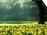 Spring Garden, Narcissus, Tree Bright Sunshine France Narcissi Paris Posters by Martine Mouchy