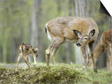 Whitetail Deer, Fawn Approaches Doe It Thinks is Its Mother Prints by Daniel J. Cox