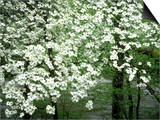 Dogwood Tree, Great Smoky Mnts National Park, USA Posters by Willard Clay