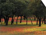 Texas Paintbrush and Bluebonnets Beneath Oak Trees, Texas Hill Country Prints by Adam Jones