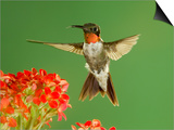 Ruby Throated Hummingbird,Male Feeding on Kalanchoe Flower, New Braunfels, Texas, USA Posters by Rolf Nussbaumer