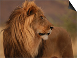Male Lion, Namibia, South Africa Posters by Keith Levit