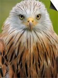 Red Kite, Iucn Red List of Endangered Species Captive, France Print by Eric Baccega