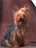 Yorkshire Terrier Studio Portrait Prints by Adriano Bacchella