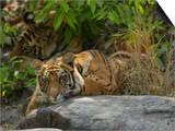 Bengal Tiger, 11 Month Old Cub on Rocks, Madhya Pradesh, India Plakaty autor Elliot Neep