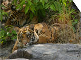 Bengal Tiger, 11 Month Old Cub on Rocks, Madhya Pradesh, India Posters by Elliot Neep