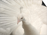 Albino India Blue Peafowl Prints by Eric Baccega