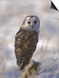 Barn Owl, Full-Frame Portrait of Barn Owl Perched on Fence Post, Lancashire, UK Stampe di Elliot Neep