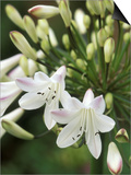 Agapanthus (Polar Ice), Close-up of White & Pale Pink Flower Head Prints by Mark Bolton