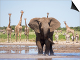 African Elephant, Warning Posture Display at Waterhole with Giraffe, Etosha National Park, Namibia Art by Tony Heald