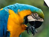 Blue and Yellow Macaw, S America Art by Staffan Widstrand