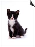 Domestic Cat, Black and White Kitten Poster by Jane Burton