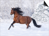 Bay Andalusian Stallion Running in the Snow, Berthoud, Colorado, USA Prints by Carol Walker