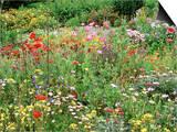 Annual Border with Papaver, Osteospermum, Gazania, Oenothera & Verbena, August, Devon Posters by Mark Bolton
