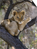African Lion, Young Cub in Tree, Southern Africa Art by Mark Hamblin