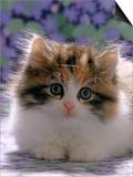 Domestic Cat, 8-Week, Fluffy Tortoiseshell-And-White Kitten Art by Jane Burton