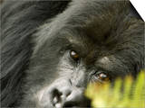 Mountain Gorilla, Close-up of Face Looking Through Fern, Africa Posters by Roy Toft