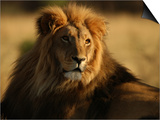 Lions, Namibia, Africa Stampe di Keith Levit