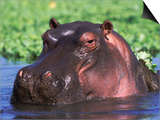Hippopotamus Head Above Water, Kruger National Park, South Africa Prints by Tony Heald