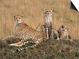 Cheetah & Cubs, Termite Mound, Masai Mara, Keny Prints by Michele Burgess
