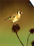 Goldfinch on Teasel, UK Prints by David Tipling