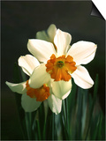 Two White and Orange Daffodils Posters by Diane Miller
